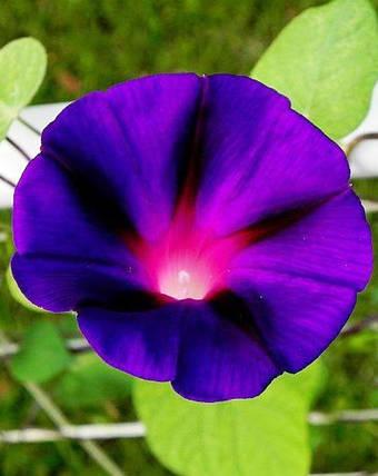 Ипомея Гранд Па - 1г - Семена цветов, фото 2