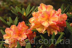"Рододендрон "" Амаретто "" ( саженцы 2 года ЗКС )  Rhododendron Amaretto, фото 2"