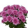 Хризантема Капитола розовая