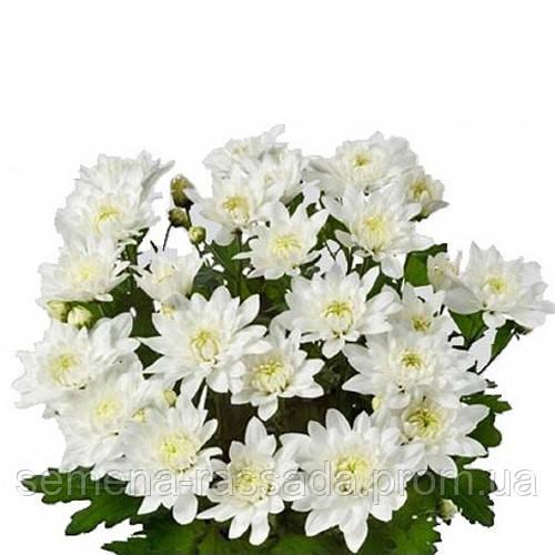 Хризантема Кристал Фреш белая