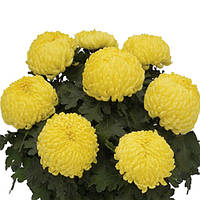 Хризантема Блондин жёлтая