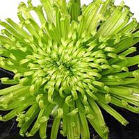 Хризантема Анастасия зелёная