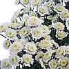 Хризантема Сталион белая