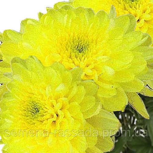 Хризантема Балтика лимонная