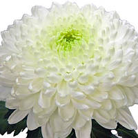 Хризантема Резолют белая