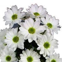 Хризантема Бакарди белая