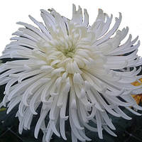 Хризантема Казан белая