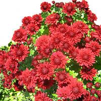 Хризантема Лекси красная