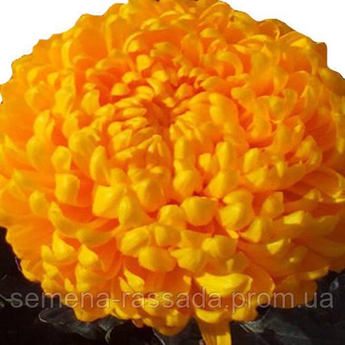 Хризантема Бродвей жёлтая