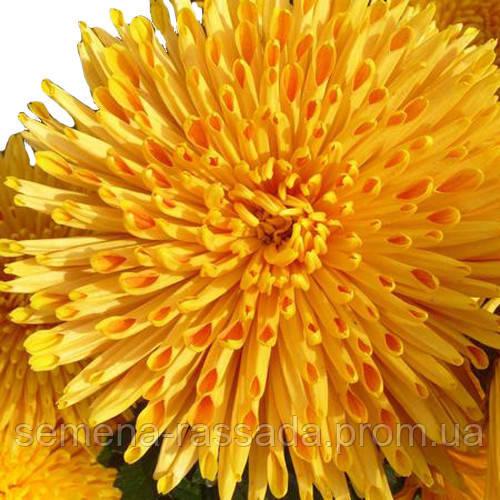 Хризантема Наташа жёлтая