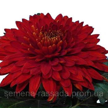 Хризантема Регалия красная