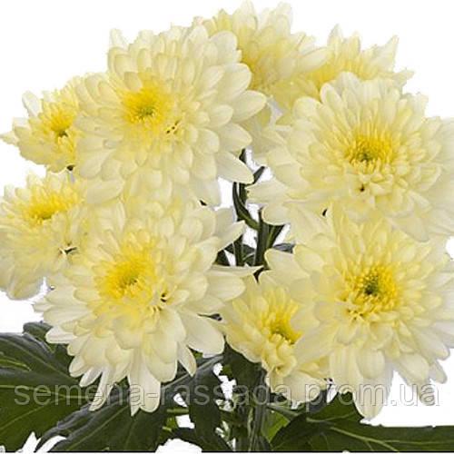 Хризантема Зембла кремовая