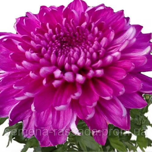 Хризантема Резоме тёмно-сиреневая