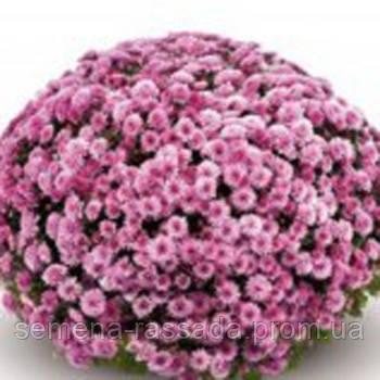 Хризантема Бореаль розовая