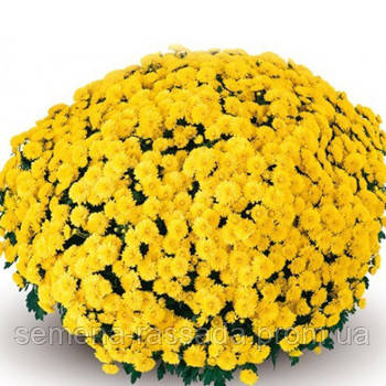 Хризантема Матина жёлтая