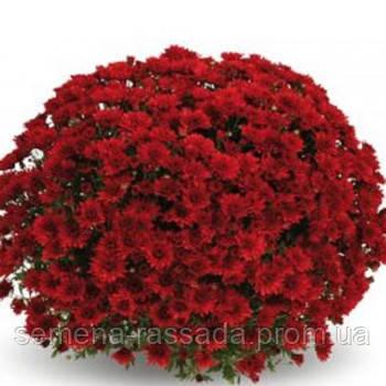 Хризантема Терана красная