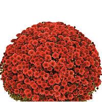 Хризантема Черил Джоли красная