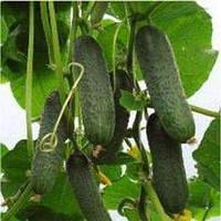 Огурец-корнишон Кибрия F1 ( Kybria RZ), 250 семян