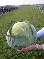 Трансам F1 - семена капусты белокочанной, Bejo - 2 500 семян