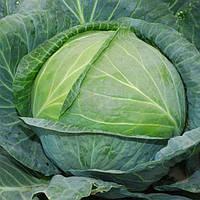 Леннокс F1 - семена капусты белокочанной, Bejo - 2 500 семян