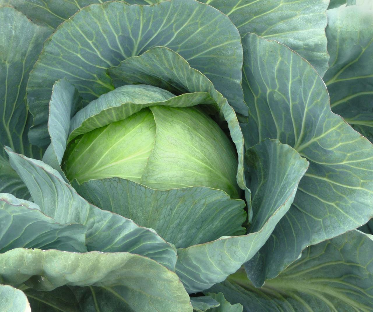 Парадокс F1 - семена капусты белокочанной, Bejo - 2 500 семян