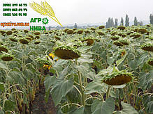 Семена подсолнечника «НС Х 1752», фото 3