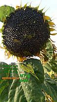 Семена подсолнечника «НС Х 1752», фото 2
