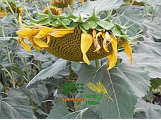 Семена подсолнечника «Рими», фото 2