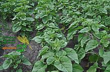 Семена подсолнечника «НС Х 2652», фото 2