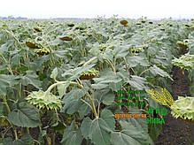 Семена подсолнечника «НС Х 2652», фото 3