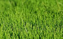 Семена травы газонной 0,5 кг. сорт Универсальная