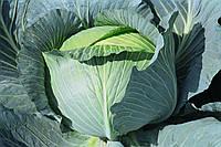 Тайфун F1 - семена капусты белокочанной, Bejo - 2 500 семян