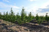 ММ-106 среднерослый подвой для яблони ЗИМНЯЯ ПРИВИВКА