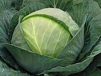 Томас F1 - семена капусты белокочанной, Bejo - 2 500 семян