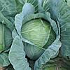 Семена капусты белокочанной средней Джинтама (Gintama) F1, 2500сем., Rijk Zwaan