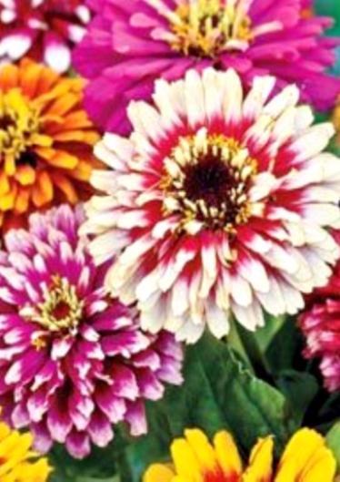 Цинния Карусель - 0.4г - Семена цветов