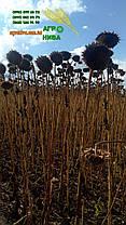 Семена подсолнечника НС-СУМО-2017, фото 2