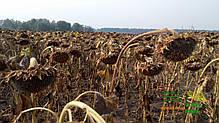 Семена подсолнечника НС-СУМО-2017, фото 3