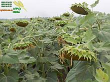 Семена подсолнечника НС Имисан (NS), фото 3