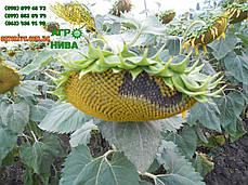 Семена подсолнечника НС Имисан (NS), фото 2
