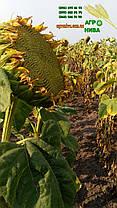 Семена подсолнуха НС-Х-6042 Юг Агролидер, фото 3