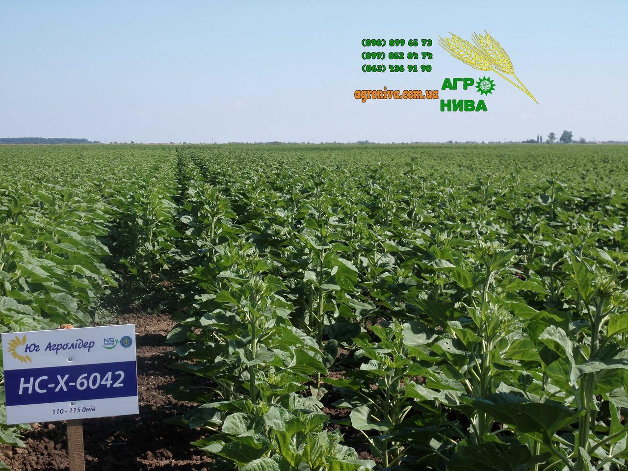Семена подсолнуха НС-Х-6042 Юг Агролидер