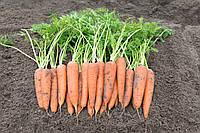 Семена моркови Вита Лонга, Bejo 500 грамм, фото 1