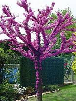 Церцис Канадский \ Иудого дерево \ cercis canadensis ( саженцы 80 - 150см 3 года), фото 2