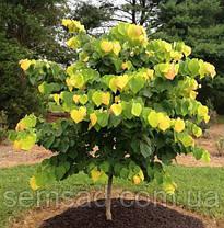 Церцис Канадский \ Иудого дерево \ cercis canadensis ( саженцы 80 - 150см 3 года), фото 3