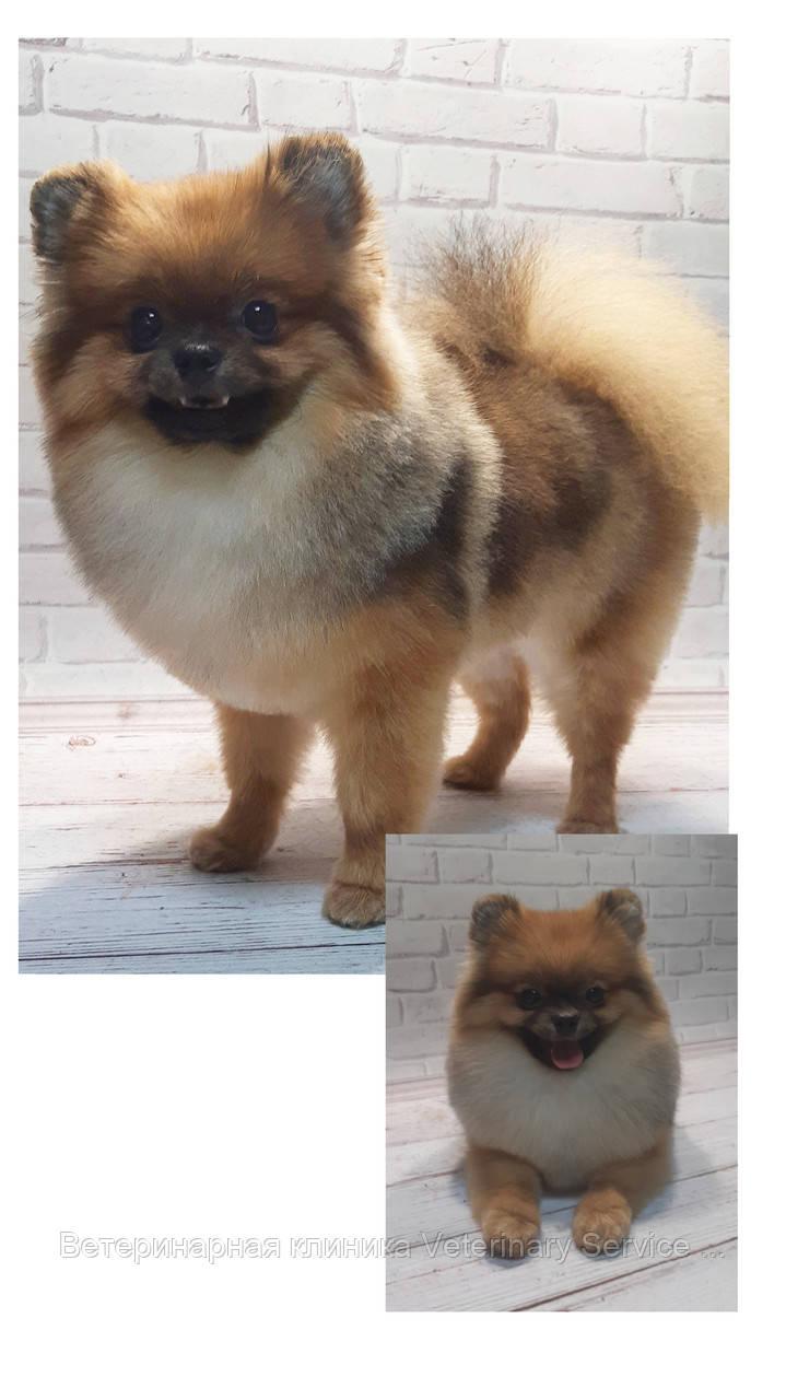 Стрижка собак (Шпиц)