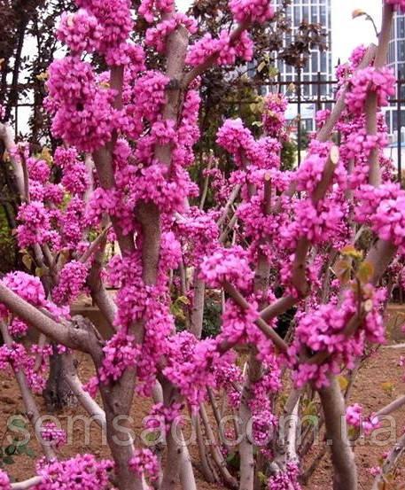 Церцис Канадский \ Иудого дерево \ cercis canadensis ( саженцы 80 - 150см 3 года)
