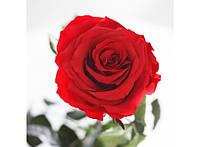 Долгосвежая роза - бутон Алый Рубин
