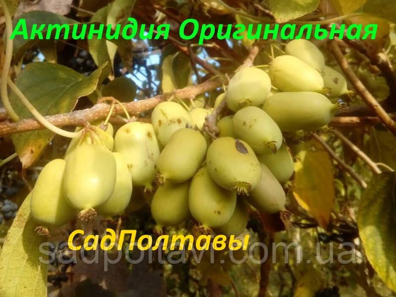 Саженцы актинидии аргута Оригинальная в конт.2л (женская)