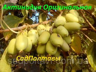 Саженцы актинидии аргута Оригинальная в конт.2л (женская), фото 2